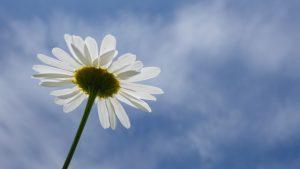 Himmelsblume